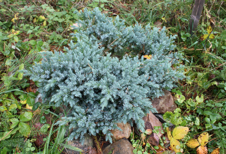 Можжевельник чешуйчатый Блю Стар (Juniperus squamata Вlue Star)