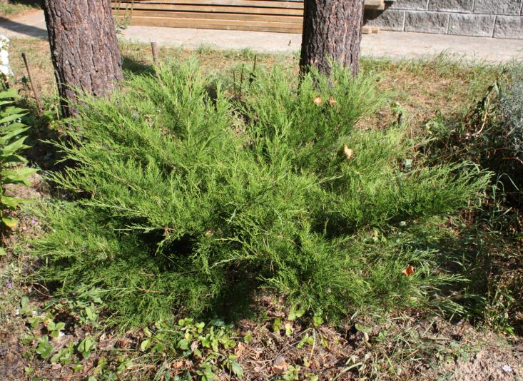 Можжевельник средний Mint Julep (Juniperus media Mint Julep)