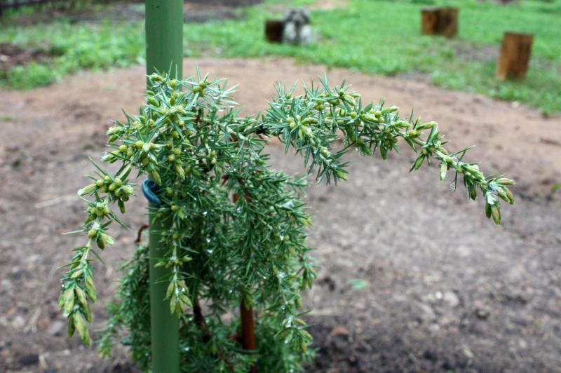 Можжевельник обыкновенный Хорстманн (Juniperus communis Horstmann)