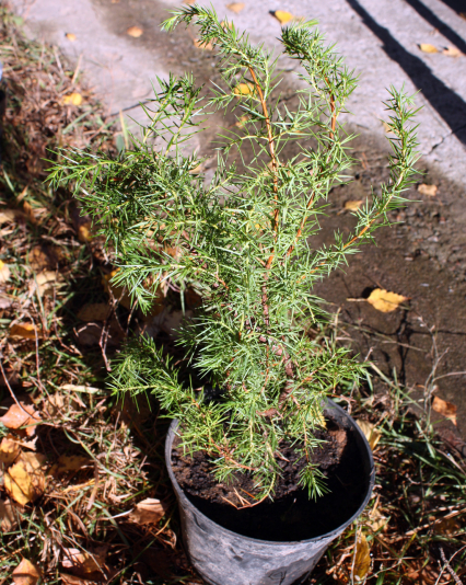 Можжевельник обыкновенный Jako ( Juniperus communis Jako)