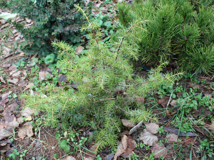 Можжевельник обыкновенный Kalebab (Juniperus communis Kalebab)