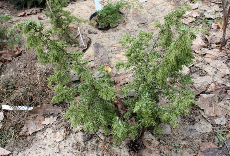 Можжевельник обыкновенный Wallis (Juniperus communis Wallis)