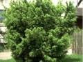 Juniperus_communis_Wallis_01