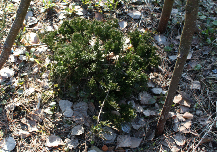 Можжевельник горизонтальный Гломерата (Juniperus horizontalis Glomerata)