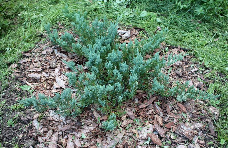 Можжевельник горизонтальный Хьюз (Juniperus horizontalis Hughes)