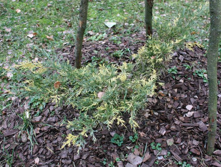 Можжевельник средний Blue and Gold (Juniperus media Blue and Gold)