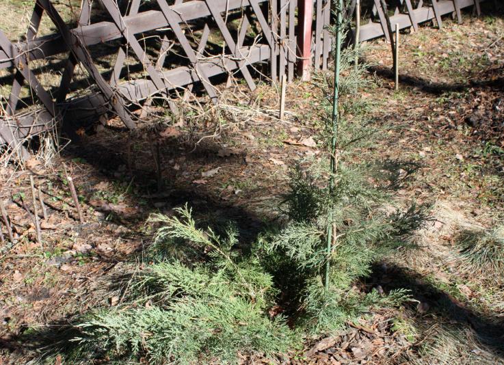 Можжевельник средний Хетци (Juniperus media Hetzii)