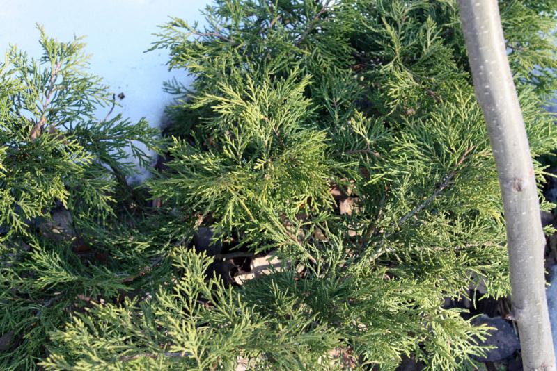 Можжевельник средний Олд Голд (Juniperus x pfitzeriana Old Gold)