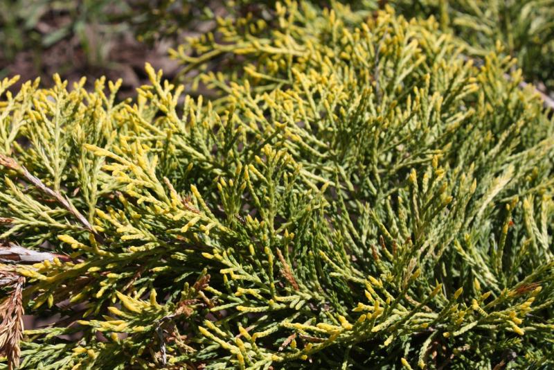 Можжевельник средний Шеридан Голд (Juniperus media Sheridan Gold)