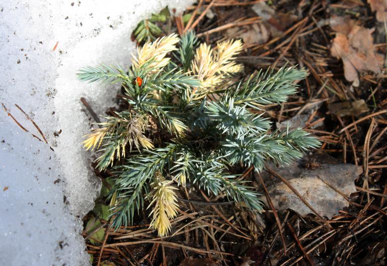 Можжевельник чешуйчатый Floreant (Juniperus squamata Floreant)