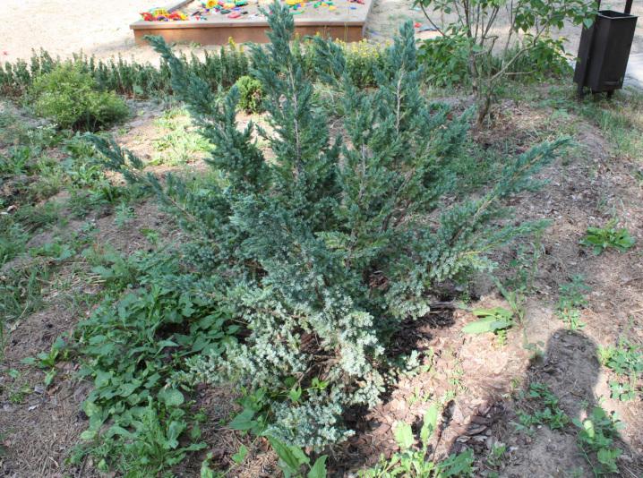 Можжевельник чешуйчатый Meyeri (Juniperus squamata Meyeri)
