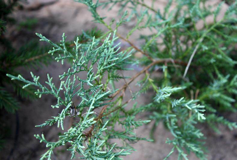 Можжевельник виргинский Грей Оул (Juniperus virginiana Grey Owl)