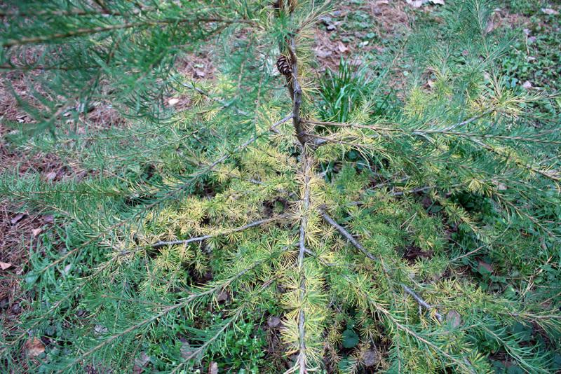 Лиственница европейская (Larix decidua)