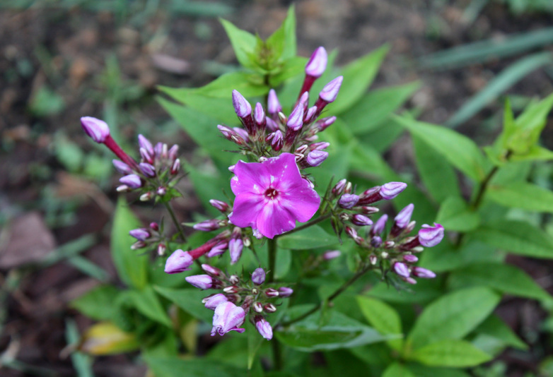 Флокс метельчатый Early Purple Eye (Phlox paniculata Early Purple Eye)