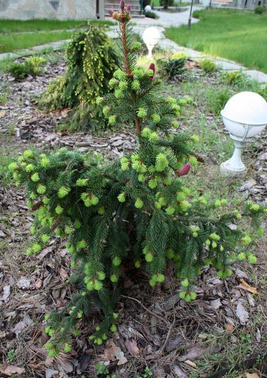 Ель обыкновенная Acrocona (Picea abies Acrocona)