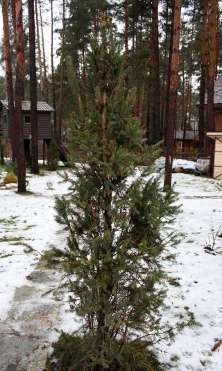 Ель обыкновенная Колумнарис (Picea abies Columnaris)