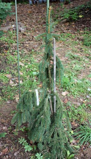 Ель обыкновенная Инверса (Picea abies Inversa)