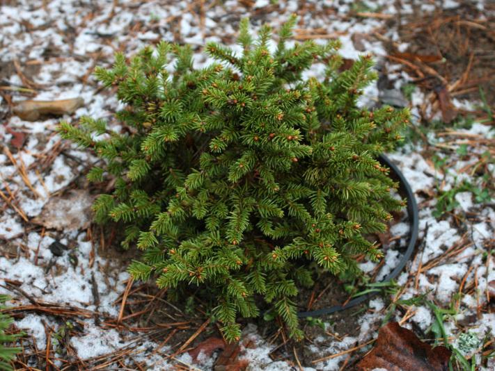 Ель обыкновенная Kral (Picea abies Kral)