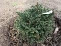 Ель обыкновенная Олендорфи (Picea abies Ohlendorffii)