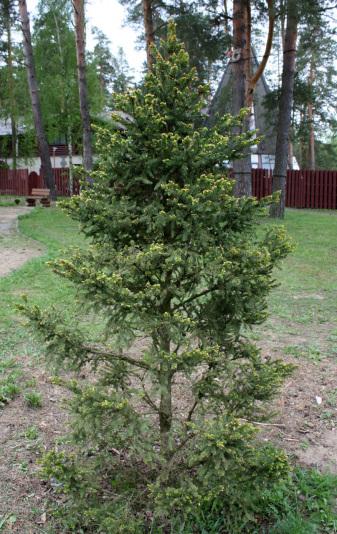 Ель обыкновенная Вилл'с Цверг (Picea abies Will's Zwerg)
