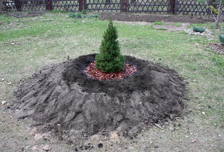 Ель канадская Коника (Picea glauca Conica)
