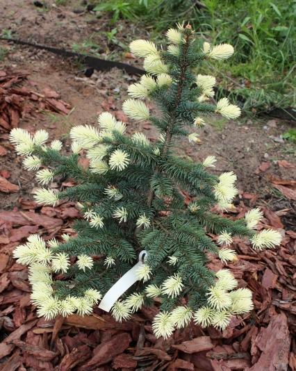 Ель колючая Bialobok (Picea pungens Bialobok)