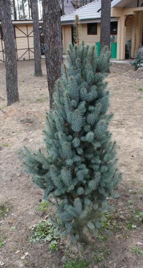 Ель колючая Iseli Fastigiate (Picea pungens Iseli Fastigiate)