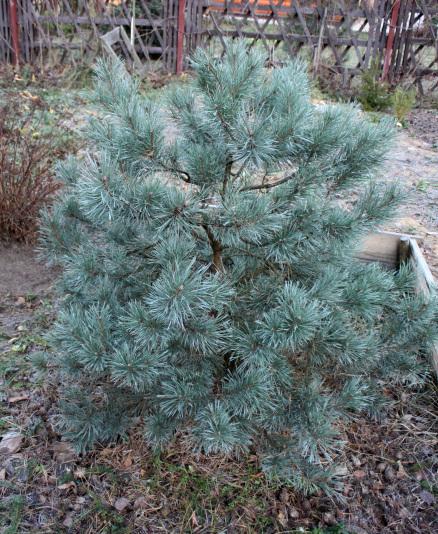 Pinus_Sylvestris_Watereri_19_06