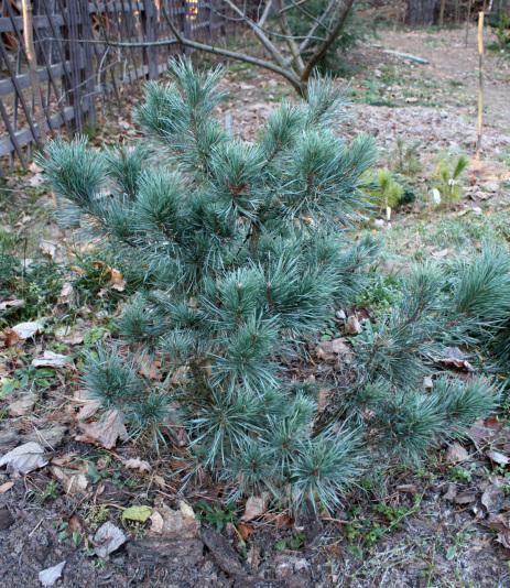 Pinus_Sylvestris_Watereri_19_07
