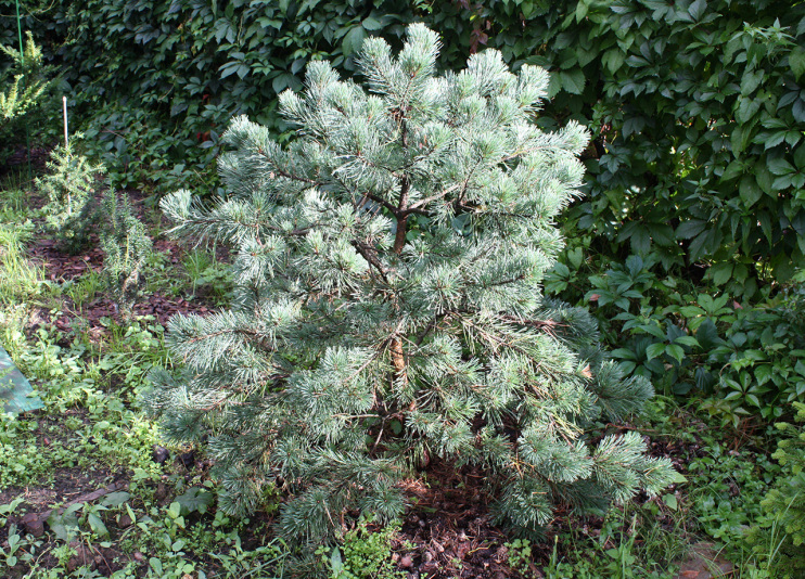 Сосна обыкновенная Watereri (Pinus Sylvestris Watereri)