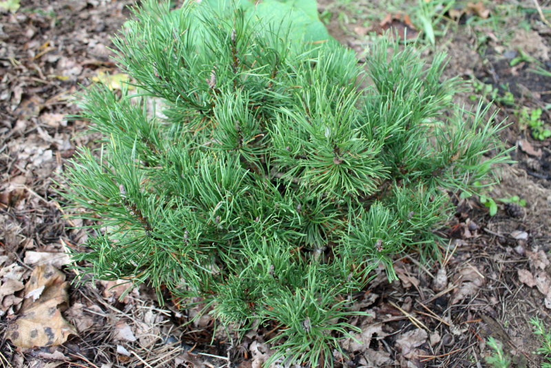 Сосна горная Carstens Wintergold (Pinus mugo Carstens Wintergold)