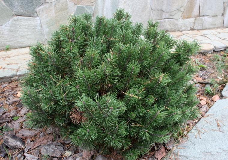 Сосна горная Mops (Pinus mugo Mops)