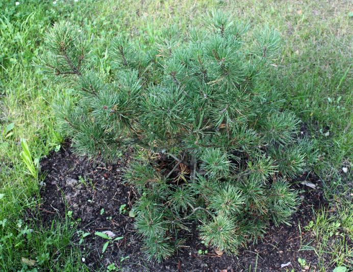 Сосна горная Ophir (Pinus mugo Ophir)
