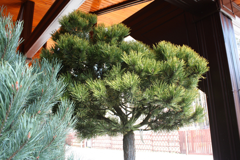 Сосна горная Winter Gold (Pinus mugo Winter Gold)