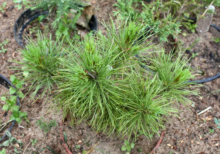 Сосна румелийская (Pinus peuce)