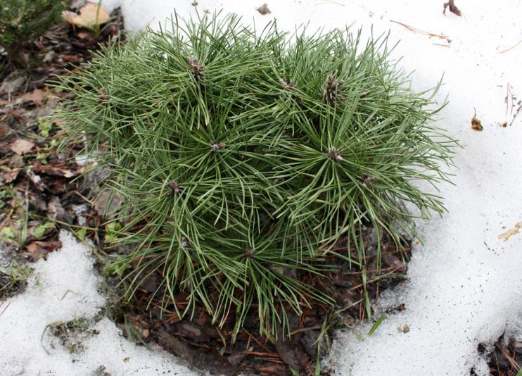 Сосна горная San Sebastian 24/Xenie (Pinus_uncinata_San_Sebastian_24_Xenie)