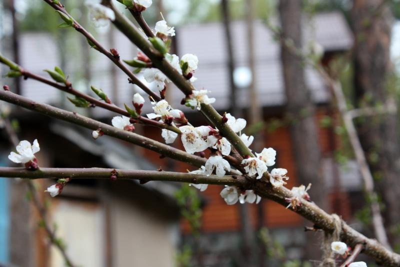 абрикос сорта Краснощекий (Prunus armeniaca)