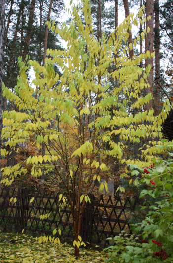 Черемуха Маака (Prunus Maackii)