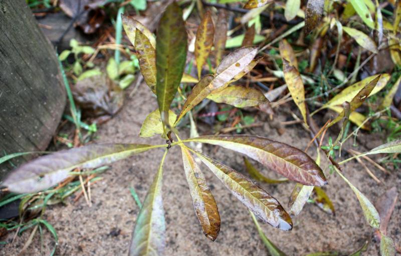 Prunus_pumila_depressa_20_05