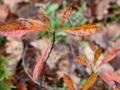 Вишня песчаная, карликовая depressa (Prunus pumila var. depressa)