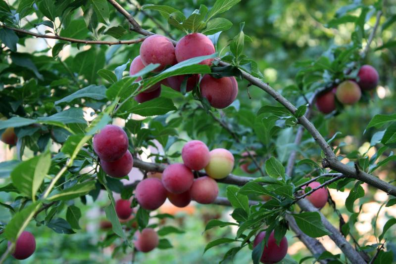 Слива русская сорт Кубанская комета (Prunus rossica)