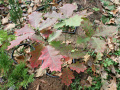 Дуб красный (Quercus rubra)
