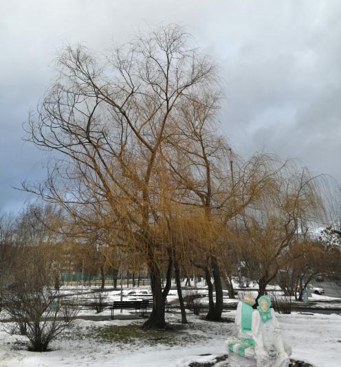 Ива белая Вителлина  (Salix alba subsp. vitellina)