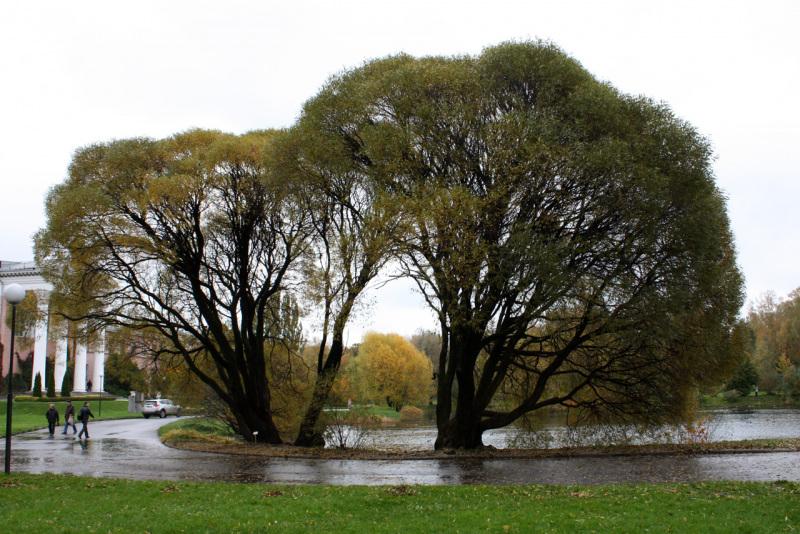 Ива ломкая Буллата (Salix fragilis Bullata)