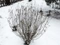 Ива пурпурная Nana (Salix purpurea Nana)