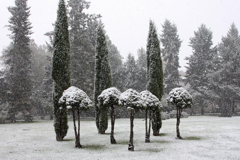 Ели коника и можжевельники обыкновенные Сентинел (колонны)