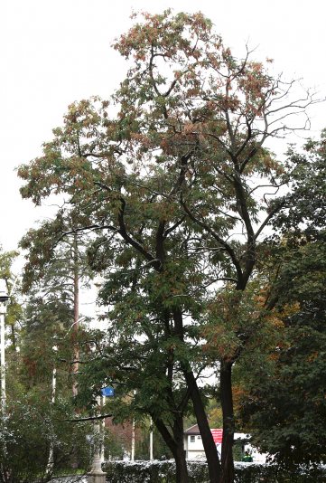 Дерево робинии (белой акации)