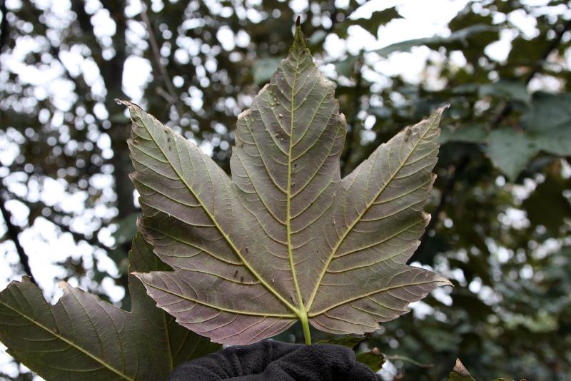 Клен ложноплатановый (Acer pseudoplatanus). Сорт Purpurea.