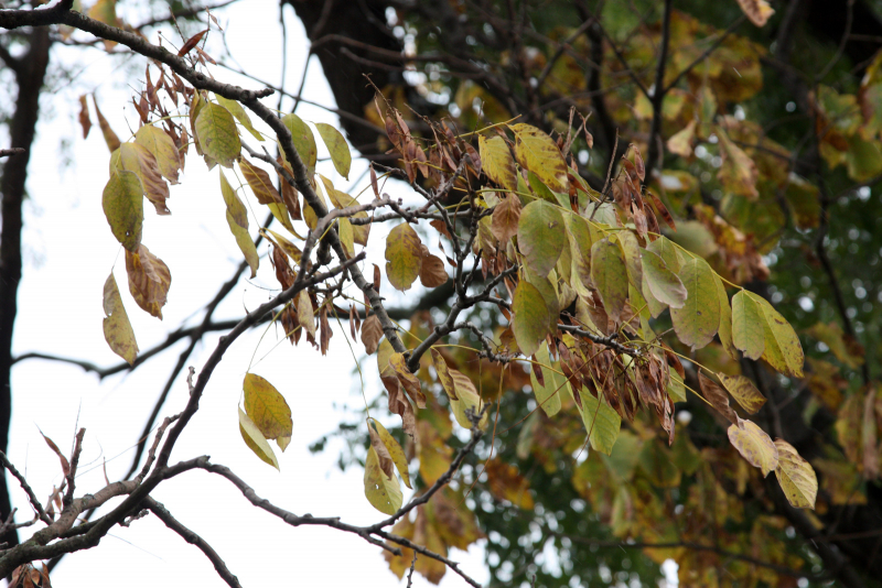 листья и плоды маакии амурской