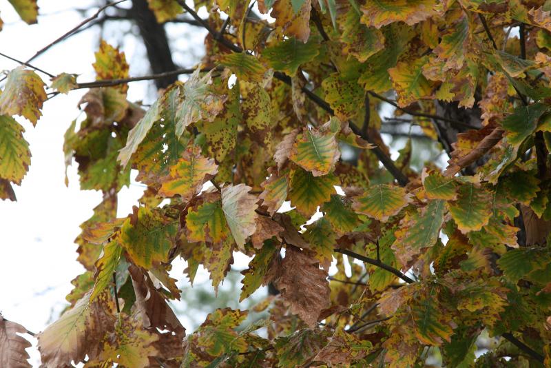 листья дуба монгольского
